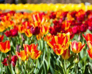 Tulip Week, Lago Maggiore @ Villa Taranto   Pallanza, Verbania   Piemonte   Italien