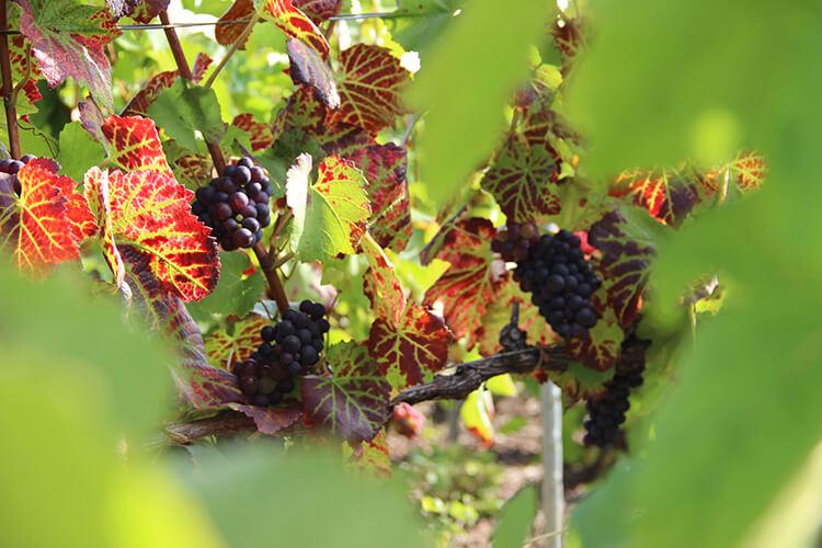 Vindruvor på hösten före skörd
