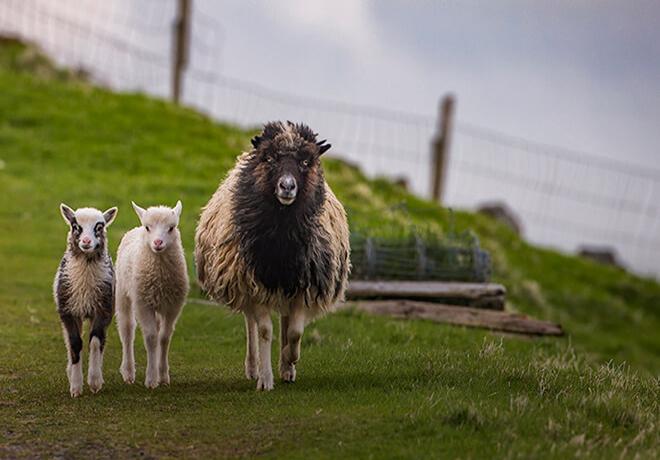 Får med sina lamm på Färöarna